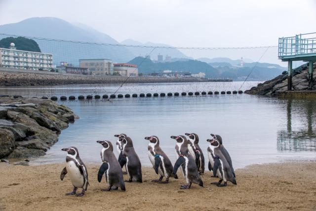 ペンギン水族館のペンギンのパレード